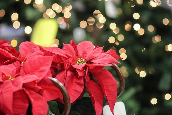 Kwiaty dekoracją na Boże Narodzenie